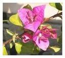 Bouganvilea glabra