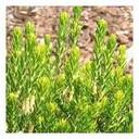 Erica australis aragonen